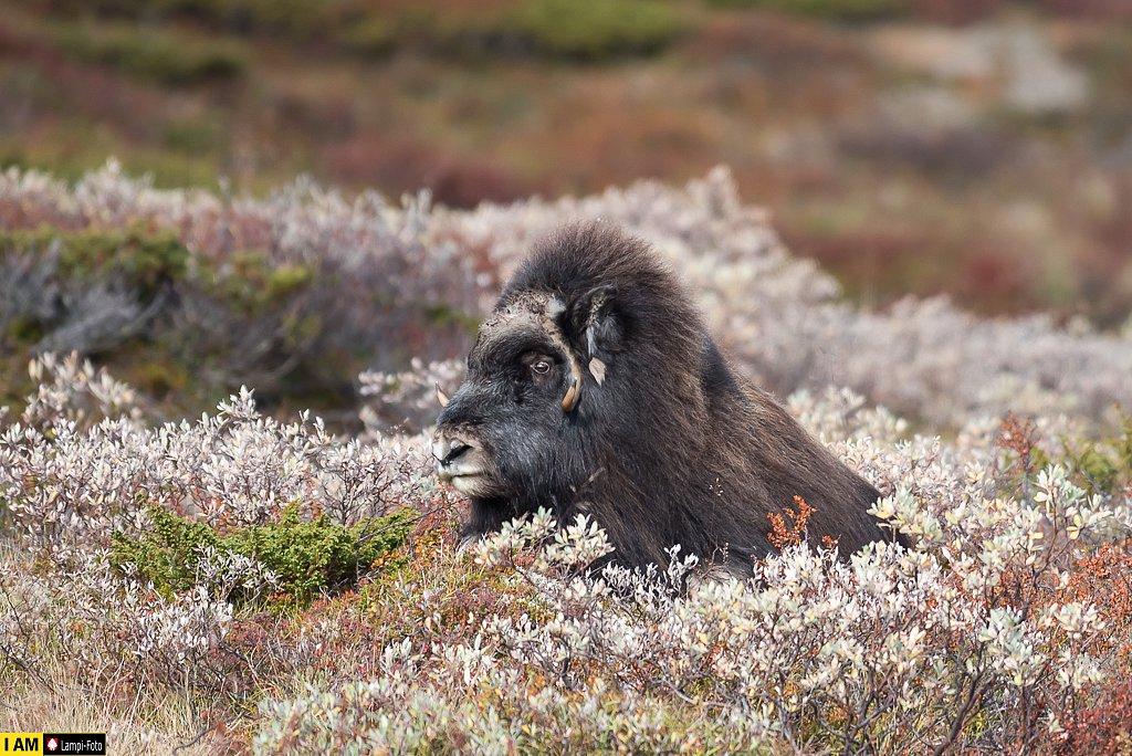 Moschusochse, Dovre, Norwegen
